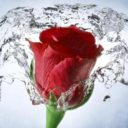 Rose Wallpaper, Floral, Flower Background: Rosely Apk  Download For Android